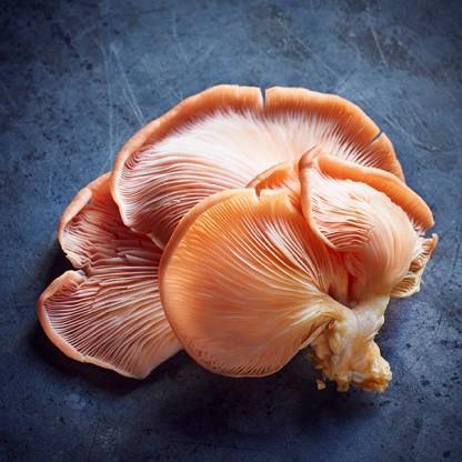 mushroom_pinkoyster